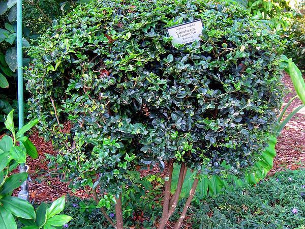 Limeberry (Triphasia Trifolia) http://www.sagebud.com/limeberry-triphasia-trifolia/