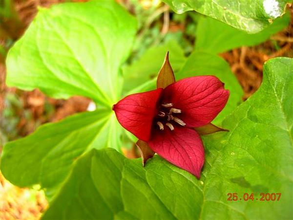 Sweet Wakerobin (Trillium Vaseyi) http://www.sagebud.com/sweet-wakerobin-trillium-vaseyi