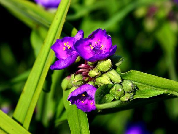 Virginia Spiderwort (Tradescantia Virginiana) http://www.sagebud.com/virginia-spiderwort-tradescantia-virginiana