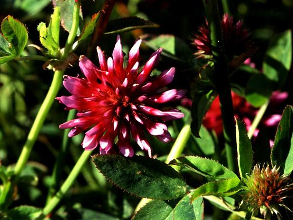 Cows Clover (Trifolium Wormskioldii) http://www.sagebud.com/cows-clover-trifolium-wormskioldii