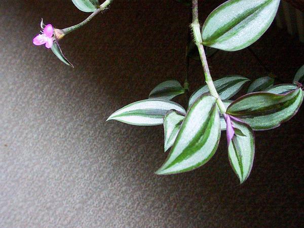 Inchplant (Tradescantia Zebrina) http://www.sagebud.com/inchplant-tradescantia-zebrina