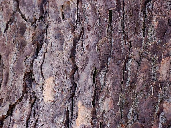 Eastern Hemlock (Tsuga Canadensis) http://www.sagebud.com/eastern-hemlock-tsuga-canadensis