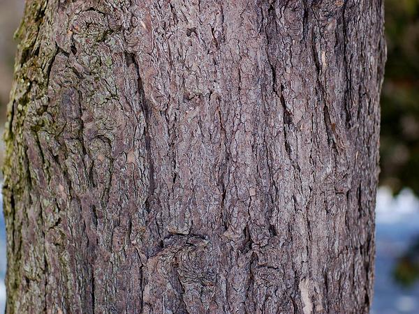 Eastern Hemlock (Tsuga Canadensis) http://www.sagebud.com/eastern-hemlock-tsuga-canadensis/