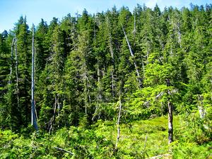 TSHE/Alaska_rainforest_300.jpg