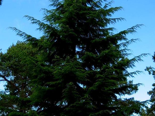 Western Hemlock (Tsuga Heterophylla) http://www.sagebud.com/western-hemlock-tsuga-heterophylla/