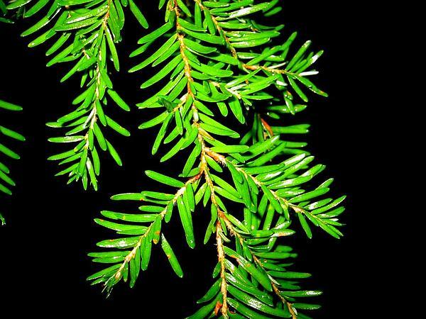 Western Hemlock (Tsuga Heterophylla) http://www.sagebud.com/western-hemlock-tsuga-heterophylla