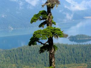 Mountain Hemlock