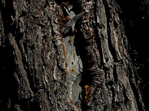 Mountain Hemlock (Tsuga Mertensiana) http://www.sagebud.com/mountain-hemlock-tsuga-mertensiana