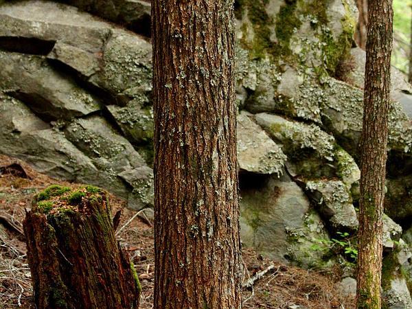 Hemlock (Tsuga) http://www.sagebud.com/hemlock-tsuga