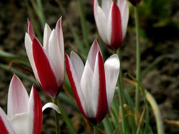 Lady Tulip (Tulipa Clusiana) http://www.sagebud.com/lady-tulip-tulipa-clusiana/
