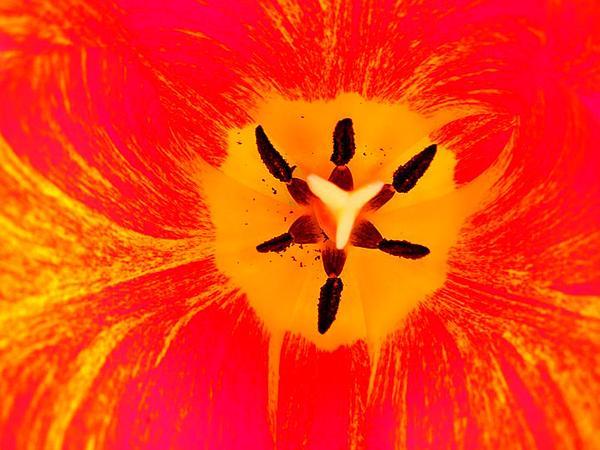 Didier's Tulip (Tulipa Gesneriana) http://www.sagebud.com/didiers-tulip-tulipa-gesneriana/