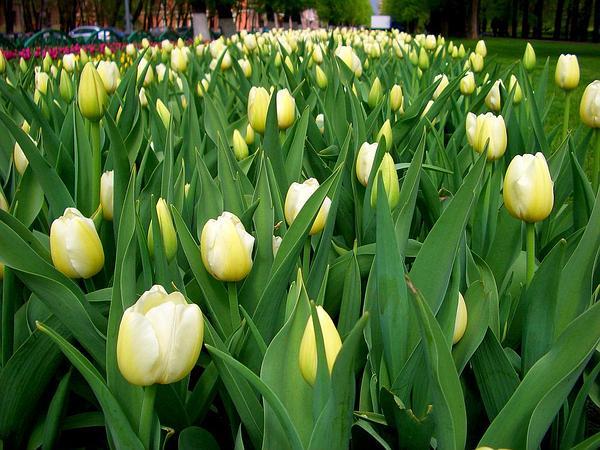 Tulip (Tulipa) http://www.sagebud.com/tulip-tulipa