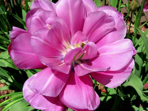 Tulip (Tulipa) http://www.sagebud.com/tulip-tulipa/