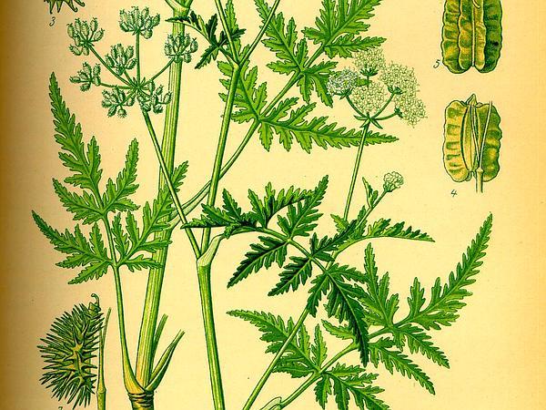 False Carrot (Turgenia) http://www.sagebud.com/false-carrot-turgenia