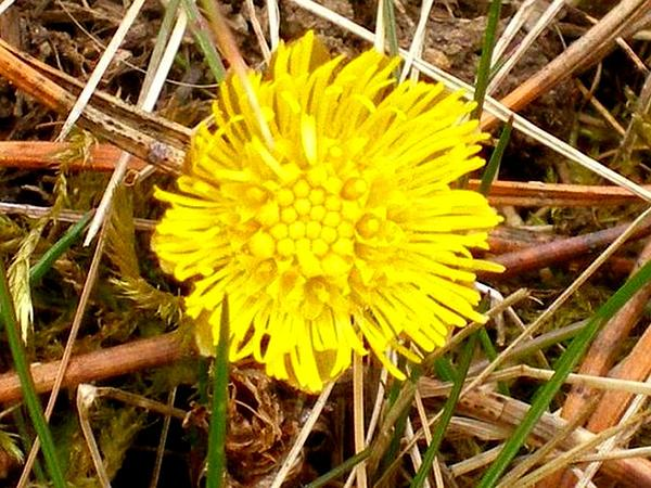 Coltsfoot (Tussilago) http://www.sagebud.com/coltsfoot-tussilago/