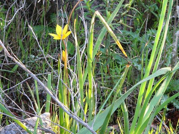 Wild Tulip (Tulipa Sylvestris) http://www.sagebud.com/wild-tulip-tulipa-sylvestris