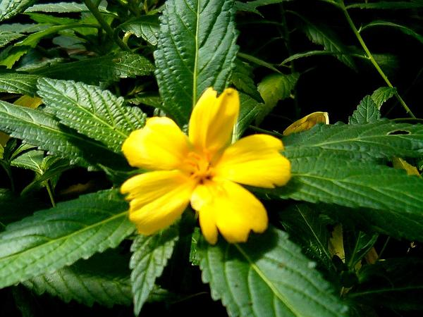 Ramgoat Dashalong (Turnera Ulmifolia) http://www.sagebud.com/ramgoat-dashalong-turnera-ulmifolia/
