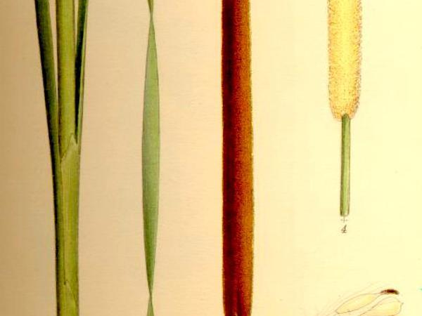 Narrowleaf Cattail (Typha Angustifolia) http://www.sagebud.com/narrowleaf-cattail-typha-angustifolia