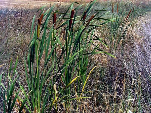 Southern Cattail (Typha Domingensis) http://www.sagebud.com/southern-cattail-typha-domingensis/