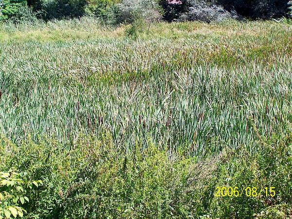 Broadleaf Cattail (Typha Latifolia) http://www.sagebud.com/broadleaf-cattail-typha-latifolia/