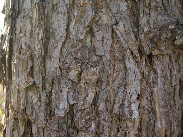 American Elm (Ulmus Americana) http://www.sagebud.com/american-elm-ulmus-americana/