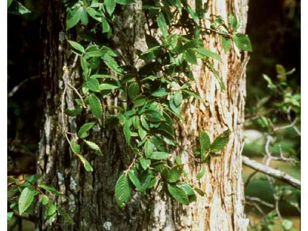 Cedar Elm (Ulmus Crassifolia) http://www.sagebud.com/cedar-elm-ulmus-crassifolia/