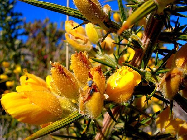 Common Gorse (Ulex Europaeus) http://www.sagebud.com/common-gorse-ulex-europaeus