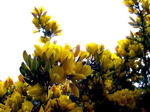 Gorse (Ulex) http://www.sagebud.com/gorse-ulex/