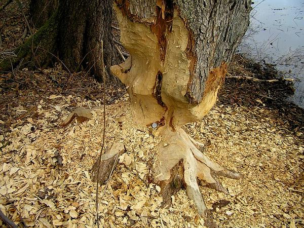 Wych Elm (Ulmus Glabra) http://www.sagebud.com/wych-elm-ulmus-glabra