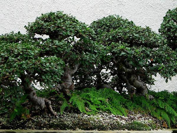 Elm (Ulmus) http://www.sagebud.com/elm-ulmus/