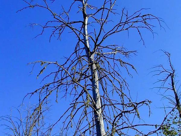 Elm (Ulmus) http://www.sagebud.com/elm-ulmus