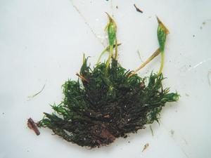 Ulota Moss