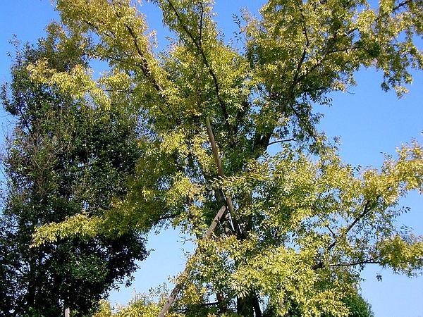 Chinese Elm (Ulmus Parvifolia) http://www.sagebud.com/chinese-elm-ulmus-parvifolia