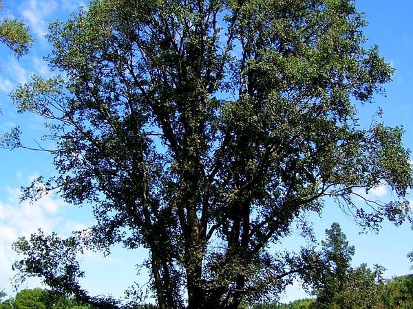 English Elm (Ulmus Procera) http://www.sagebud.com/english-elm-ulmus-procera