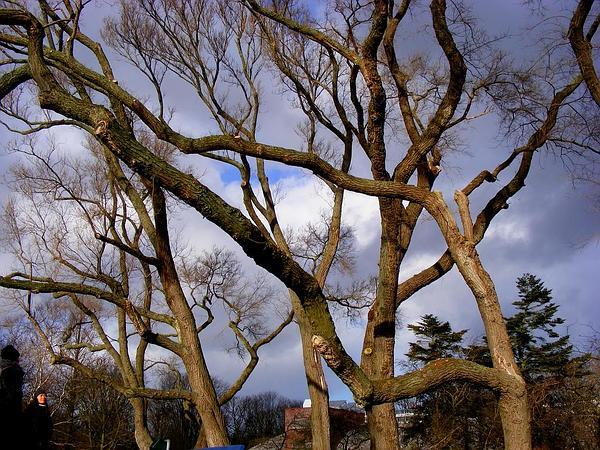 Siberian Elm (Ulmus Pumila) http://www.sagebud.com/siberian-elm-ulmus-pumila