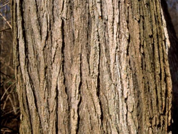 Slippery Elm (Ulmus Rubra) http://www.sagebud.com/slippery-elm-ulmus-rubra