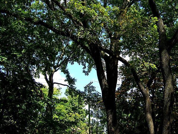September Elm (Ulmus Serotina) http://www.sagebud.com/september-elm-ulmus-serotina/