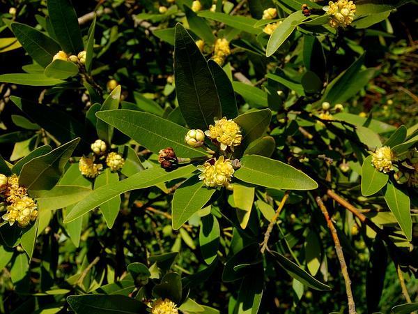 California Laurel (Umbellularia) http://www.sagebud.com/california-laurel-umbellularia