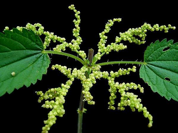 Stinging Nettle (Urtica Dioica) http://www.sagebud.com/stinging-nettle-urtica-dioica/