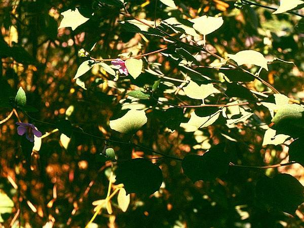 Caesarweed (Urena Lobata) http://www.sagebud.com/caesarweed-urena-lobata/
