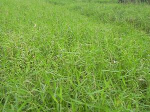 Para Grass