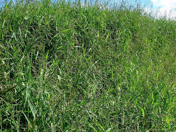 Signalgrass (Urochloa) http://www.sagebud.com/signalgrass-urochloa/