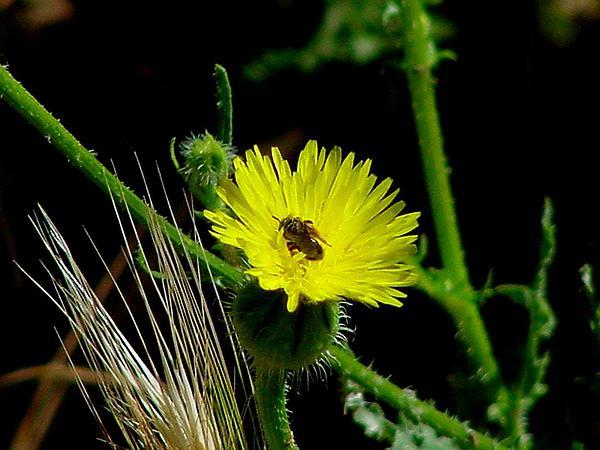 Prickly Goldenfleece (Urospermum Picroides) http://www.sagebud.com/prickly-goldenfleece-urospermum-picroides