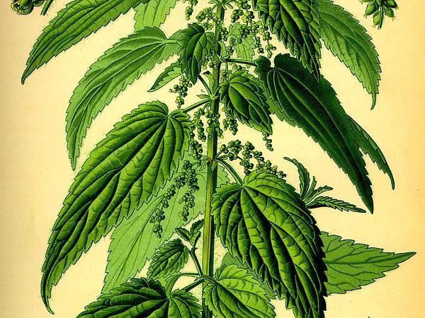 Nettle (Urtica) http://www.sagebud.com/nettle-urtica/