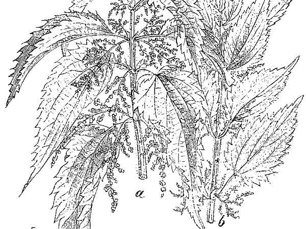 Nettle (Urtica) http://www.sagebud.com/nettle-urtica