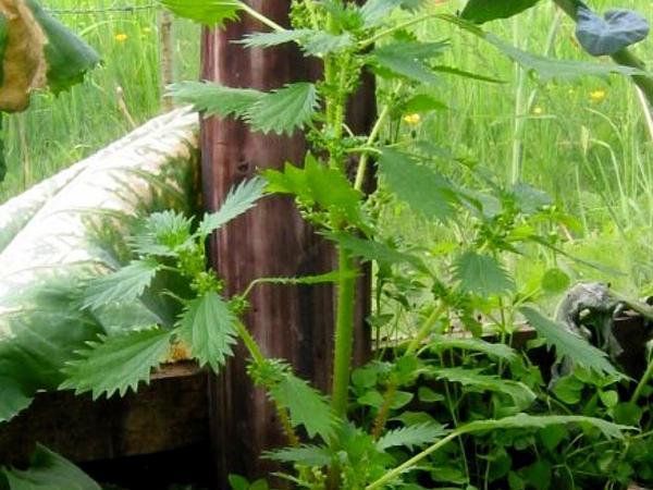 Dwarf Nettle (Urtica Urens) http://www.sagebud.com/dwarf-nettle-urtica-urens