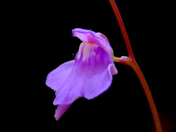 Florida Purple Bladderwort (Utricularia Amethystina) http://www.sagebud.com/florida-purple-bladderwort-utricularia-amethystina
