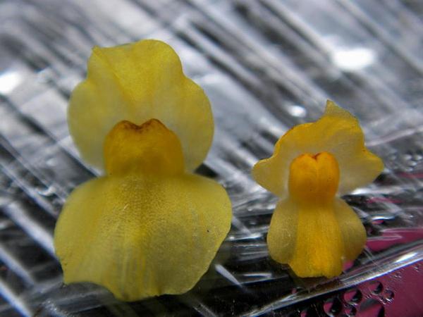 Humped Bladderwort (Utricularia Gibba) http://www.sagebud.com/humped-bladderwort-utricularia-gibba