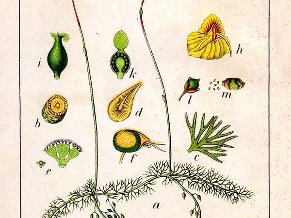 Flatleaf Bladderwort (Utricularia Intermedia) http://www.sagebud.com/flatleaf-bladderwort-utricularia-intermedia