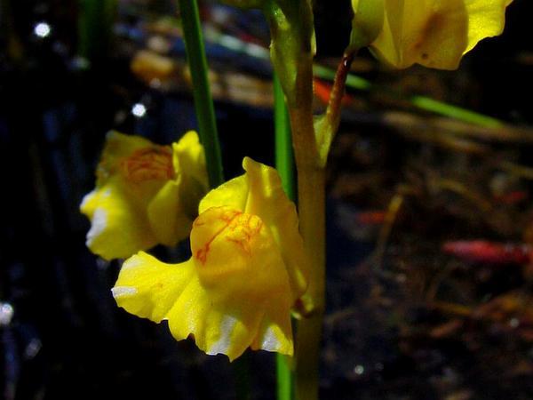 Common Bladderwort (Utricularia Macrorhiza) http://www.sagebud.com/common-bladderwort-utricularia-macrorhiza